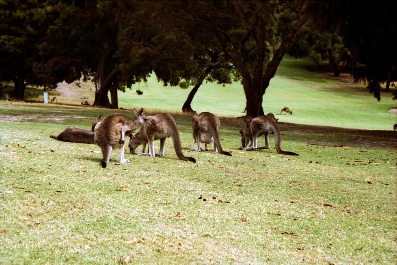 Kangaroos on the Course - Australia
