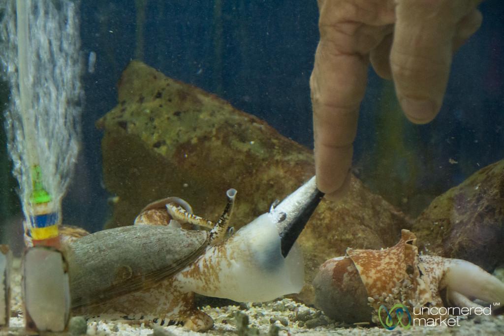 Cone Snail Eating a Fish, Visit to JCU Research Acquarium - Cairns, Queensland