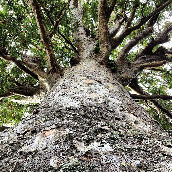 Start your day on the right note: hug a sacred tree. 800 yr old McKinney Kauri tree #gadv #dna2nz