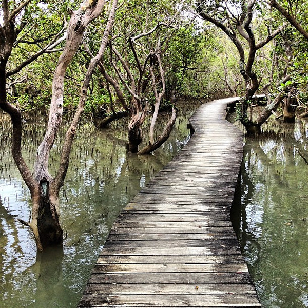 Bush walking, the spooky mangroves near Waitangi #newzealand