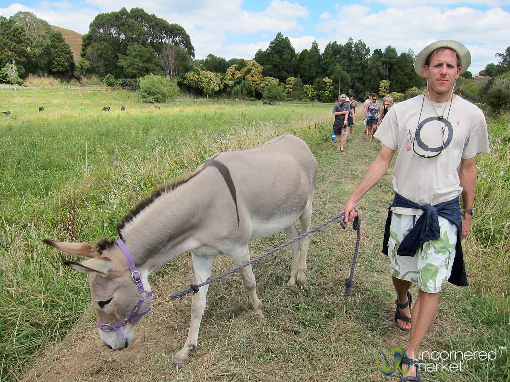 Dan Walks a Donkey - Sustainable Farm near Raglan, New Zealand