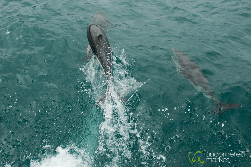 Kaikoura Dusky Dolphin - New Zealand