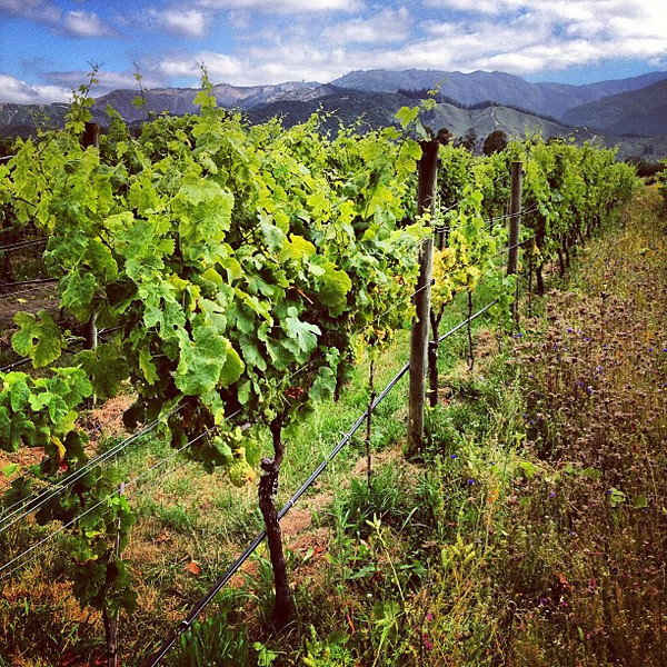 The next vintage, up the wine row -- Herzog Winery, Marlborough #newzealand