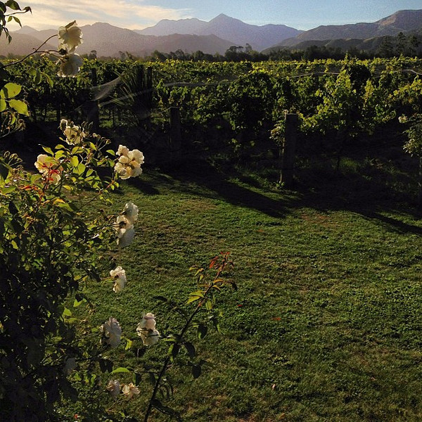 A view from our wine cottage at Hans Herzog Estate, Marlborough. I will have to be forcibly removed from the premises on checkout. #newzealand