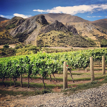 Must be nice to be a wine grape. You get to grow up in such beautiful places. Then, unfortunately, one day you get crushed. Otago Valley, home of big, steaky Pinot Noir, South Island, New Zealand