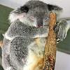 Koala at the Lone Pine Koala Sanctuary