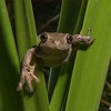 Peron's Tree Frog (Litoria peronii)<br /> Tomerong<br /> 5-1-05