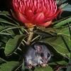 Eastern Pygmy Possum (Cereartetus nanus)<br /> Worrigee, Nowra, Shoalhaven, NSW