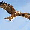 Whistling Kite (Haliastur sphenurus), Adelaide Rv., Arnhem Hwy., NT