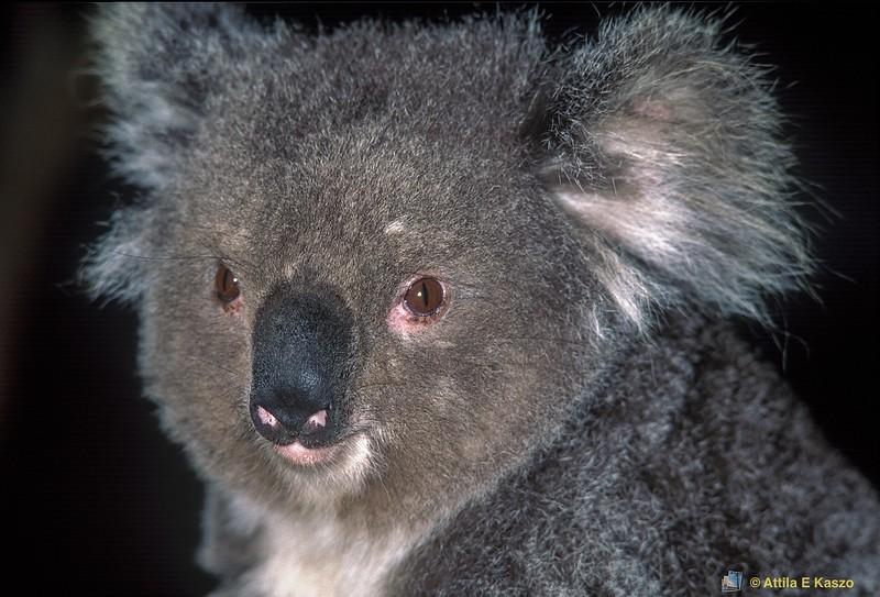 Koala (Phascolarctos cinereus) - Detail