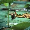 Jacarna (Irediparra gallinacea)<br /> Shady Camp Billabong, Kakadu NP, NT