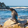 Australian Fur Seal (Arctocephalus pusillus) Narooma, NSW