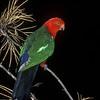Australian King Parrot (Alisterus scapularis)<br /> Ulladulla, Shoalhaven, NSW