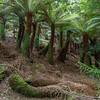 Fern Trees (Dicksonia)<br /> <br /> Meander State Forest (WHA)<br /> <br /> Meander, Tasmania