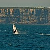 Humpback Whale (Megaptera novaeangliae) - Jervis Bay, Shoalhaven, NSW