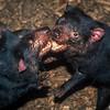 Tasmanian Devil (Sarcophilus harrisii)<br /> Mt Field NP, TAS