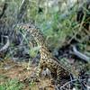 Perentie (Varanus giganteus)<br /> Ormiston Gorge NP, NT