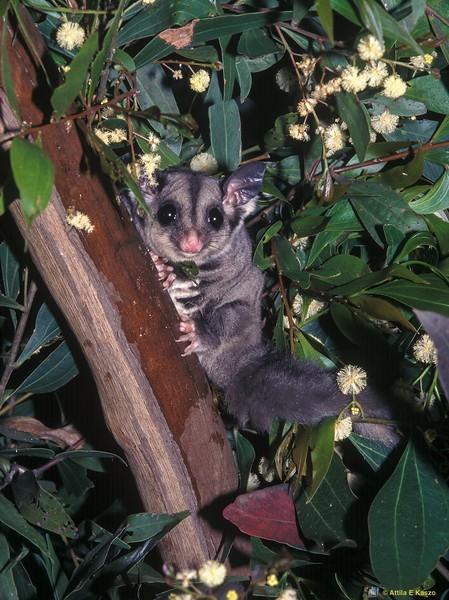 Squirrel Glider (Petaurus norolcensis)<br /> Currumbene State Forest, Shoalhaven, NSW