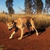 Dingo (Canis familiaris) <br /> Uluru NP, NT