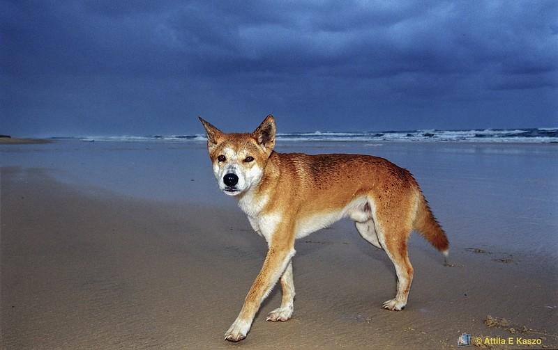 Dingo (Canis lupus dingo) - 75 Mile Beach, Fraser Is., Qld