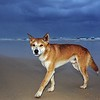 Dingo (Canis lupus dingo) - 75 Mile Beach, Fraser Is., Qld