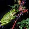 Green & Golden Bell Frog (Litoria aurea) <br /> Cambewarra, Shoalhaven, NSW