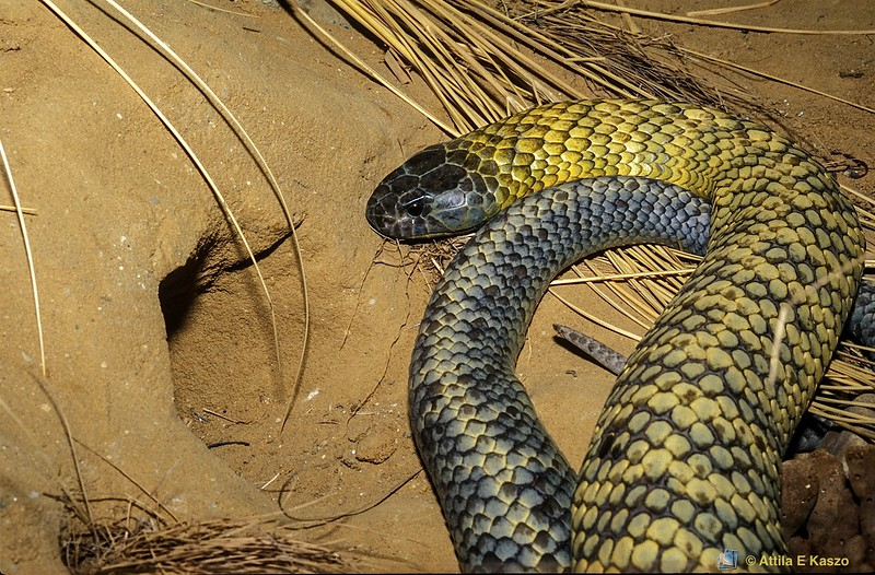 Tasmanian Tiger Snake (Notechis Ater humphreysi) - Venomous<br /> Gunn Plains, Tasmania