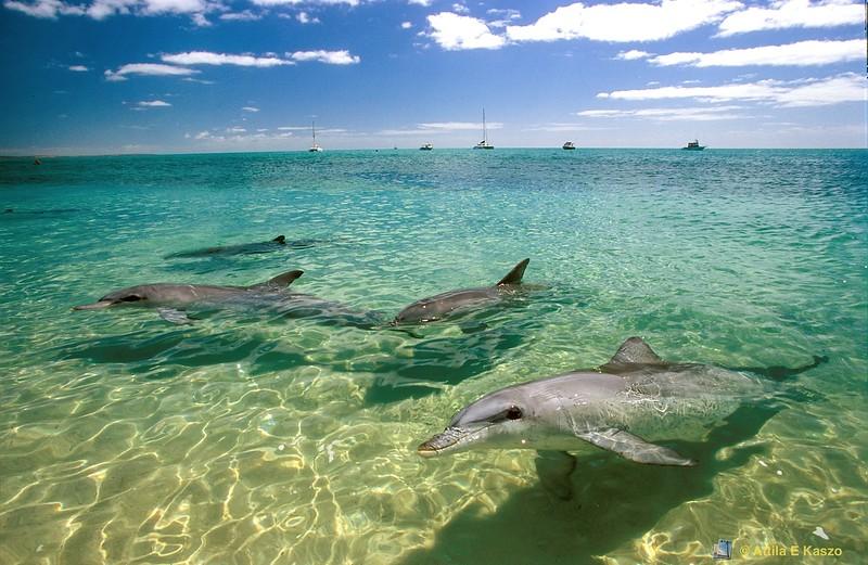 Dolphin Pod<br /> Monkey Mia, Fancois Peron NP, WA<br /> 700-25-338