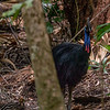 Southern Cassawary (Casuarius casuarius), Daintree Rainforest, Cape Tribulation, Qld