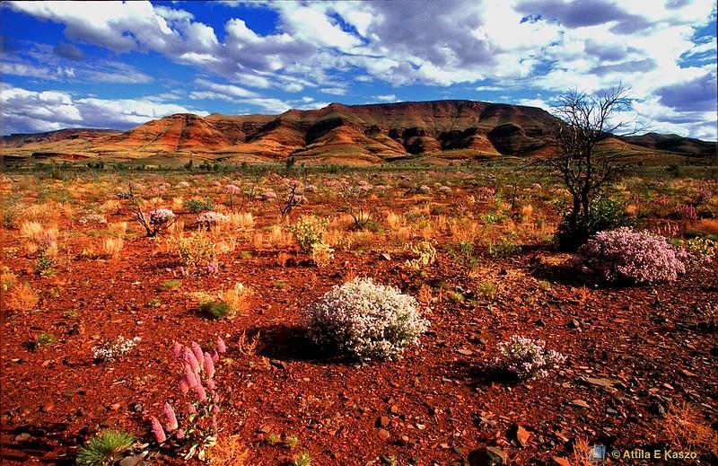 Arid Landscape - Flora<br /> Wittenoom, Pilbra, W.A.
