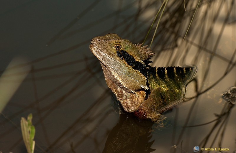 Eastern Water Dragon (Physignathus lesueurii) - Camp Hill, Qld