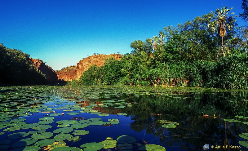 Middle Gorge - Water Lilies<br /> Lawn Hill NP, QLD