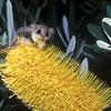 Feathertail Glider (Acrobates pygmaeus)<br /> Ulladulla, Shoalhaven, NSW