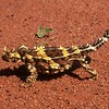 Thorny Devil (Moloch horridus)<br /> Great Central Road, WA