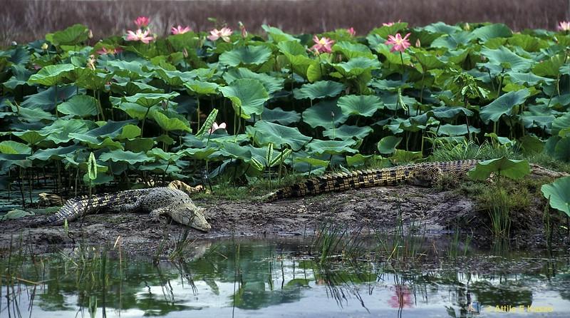 Estuarine Crocodile (Crocodylus porosus)<br /> Shady Camp Billabong, Kakadu, NT