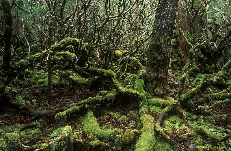 Cool Temperate Rainforest<br /> Cradle Mtn. NP, Tasmania