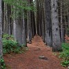 Sugar Pine Forest (Pinus lambertiana) - Laural Hill, NSW