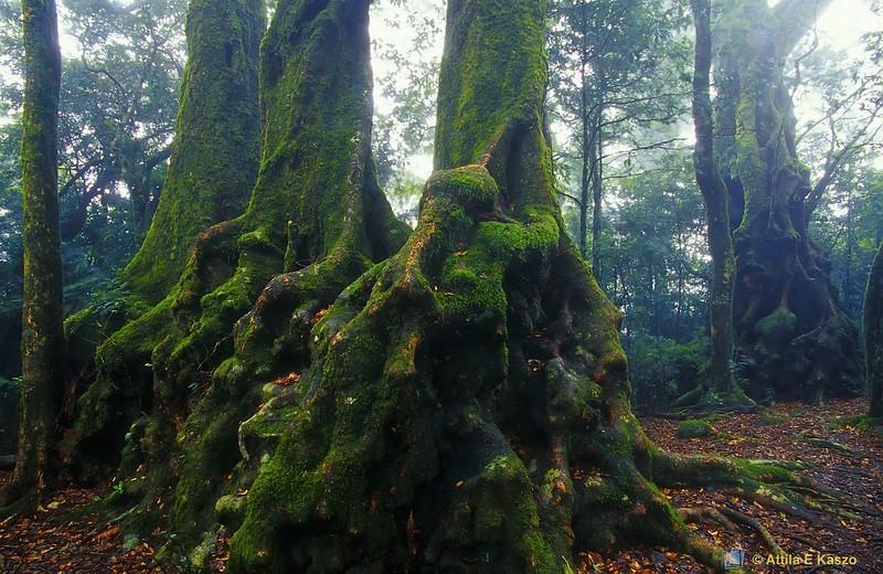 Antarctic Beech Trees (Northofagus moorei)<br /> Springbrook NP, QLD