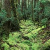 Cool Temperate Rainforest<br /> Cradle Mtn. NP, Tasmania