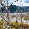 Dead Trees - Kiandra, NSW