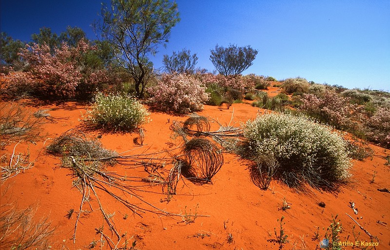 Desert Flora<br /> West Pilbra, W.A.<br /> 700-25-304