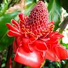 Tahiti plant