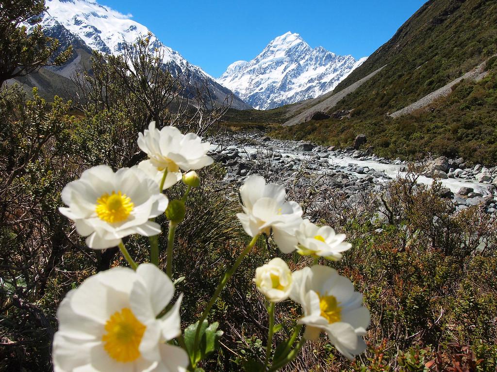 Flowers at Aoraki / Mount Cook in New Zealand