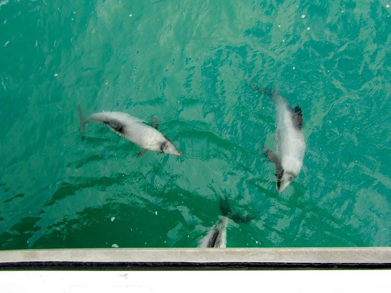 Hector's Dolphins in Akaroa, New Zealand
