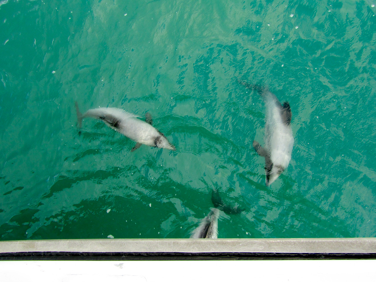 Hector's Dolphins in Akaroa