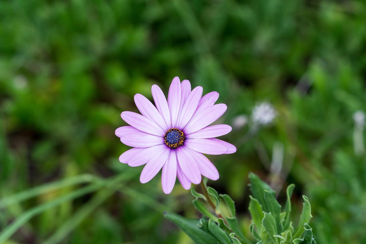 A wild daisy.