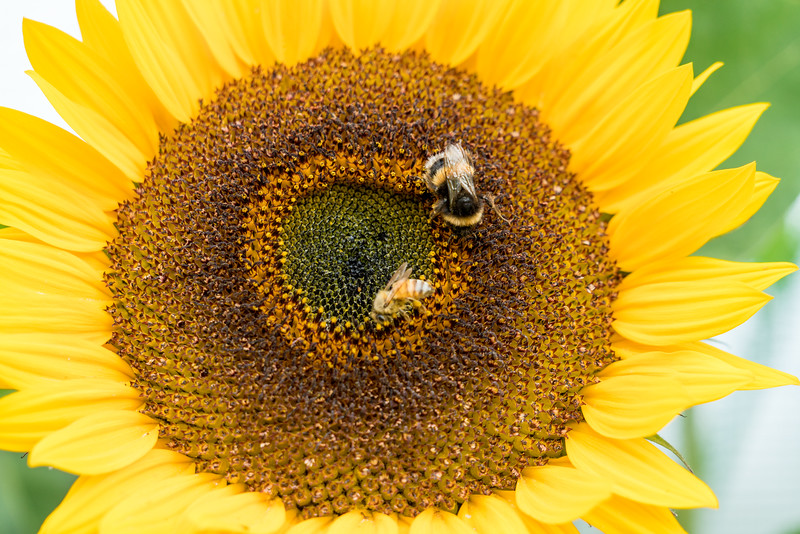 These sunflowers outside the Cable Bay Vineyard were covered with bees!