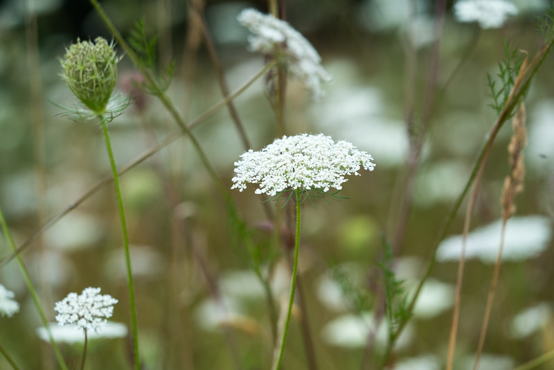 Queen Anne's Lace was everywhere!