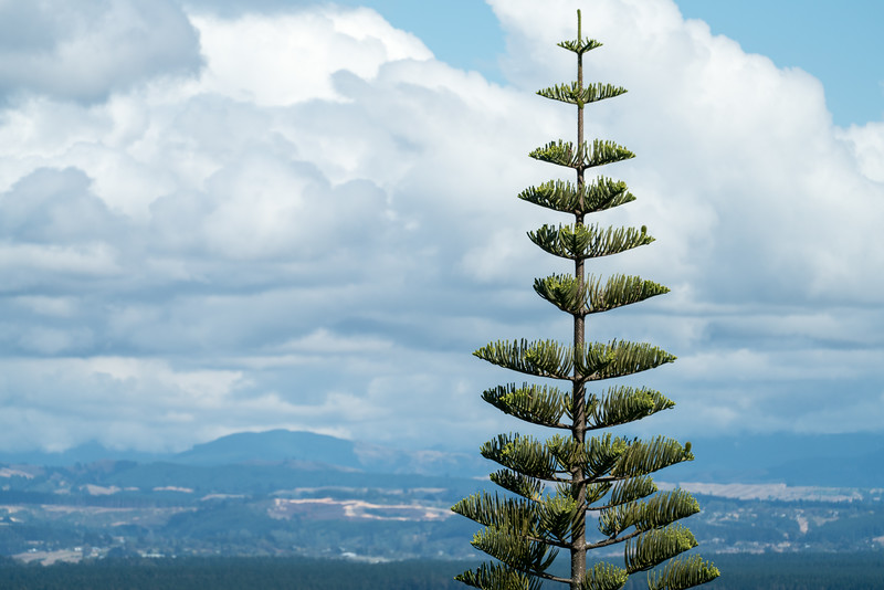 A Norfolf Pine in Nelson,