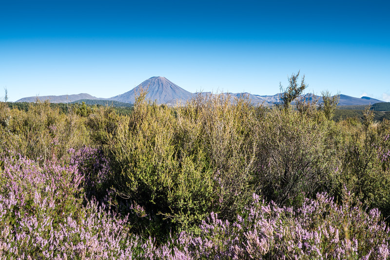 Mount Ngauruhoe from the Desert Road, heather growing in the foreground.
